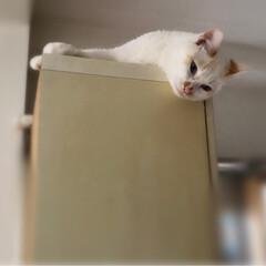 キャットタワーDIY/満福君/白猫/もんじ君/ハチワレ猫/保護猫/... 久しぶりの投稿です。 各々いつもの場所で…(3枚目)