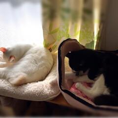 かぎしっぽ/白猫/ハチワレ/保護猫/LIMIAペット同好会/ペット仲間募集/... シンクロで毛繕い❣️ からの お昼寝〜💤