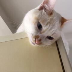 キャットタワーDIY/満福君/白猫/もんじ君/ハチワレ猫/保護猫/... 久しぶりの投稿です。 各々いつもの場所で…(4枚目)