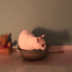 満福君/白猫/保護猫/LIMIAペット同好会/にゃんこ同好会 満福も入って見した😊(2枚目)