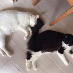 保護猫/もんじ君/ハチワレ猫/満福君/白猫/LIMIAペット同好会/... ご飯を食べてお腹いっぱい。 同じ格好でお…