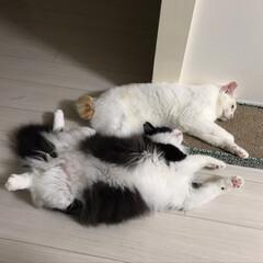 保護猫/満福君/白猫/もんじ君/ハチワレ/にゃんこ同好会 台風の夜のすごし方。 ゴロゴロしてたかと…