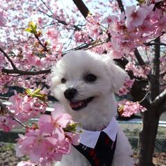 春の香り/花粉症/春の陽気/桜並木/ペット/かわいい/... 早咲きの  美和桜🌸🌸 桜が満開🌸 桜並…
