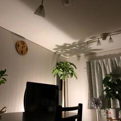 インテリア/観葉植物/間接照明/パキラ ちょっと  いい感じ❣️ スラーっと カ…
