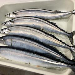 ハーゲンダッツ/秋刀魚の塩焼き/マルチーズ/ペット/フード/おうちごはん 秋刀魚🐟来たーー〜(*´︶`*)♡ 我が…