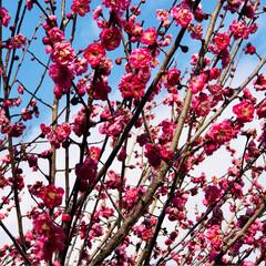 春を感じて 梅が咲いたよ 水仙も 💕💕💕💕💕(3枚目)