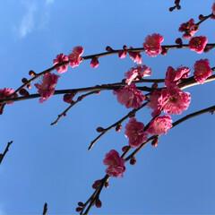 春を感じて 梅が咲いたよ 水仙も 💕💕💕💕💕(2枚目)