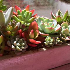 窓辺/タニラー/多肉中毒/多肉植物/多肉の寄せ植え お天気 良いので 多肉ちゃん  日光浴☀…