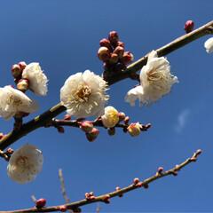 春を感じて 梅が咲いたよ 水仙も 💕💕💕💕💕