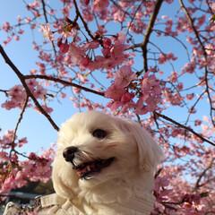 LIMIAおでかけ部/ペット/ペット仲間募集/犬/わんこ同好会/おでかけ/... 河津桜🌸これは、昨日20日 そういちろう…