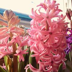 優しい香り/花のある暮らし/ヒアシンス/窓辺 ヒアシンスの花が 開いてきました(*^_…