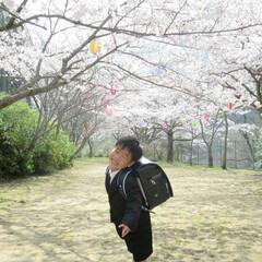 男の子/子供/ランドセル/一年生/桜/春/... ランドセルからってニヤニヤがとまらない(…