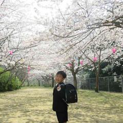 ランドセル/子供/男の子/一年生/桜/春/... 満開の桜の木の下  ランドセルからってる…