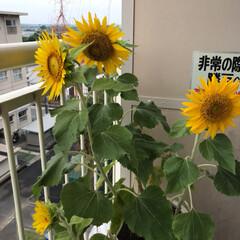 植物/住まい 孫が育ててるひまわりが、咲きました😃✨ …