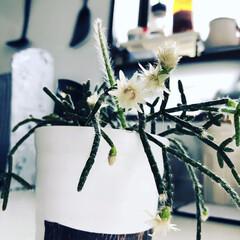 出窓/嬉しい/3年目/花/多肉植物/キッチン/... 多肉植物にたくさん花がつきました!(〃艸…