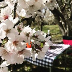 自然/花見/おでかけ お花見🌸 花よりだんご、、、 花より遊び…