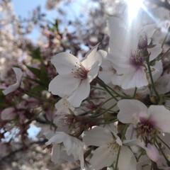 桜/春/おでかけ/暮らし/節約 無事に2人、入学式が終わりました。 コロ…(1枚目)