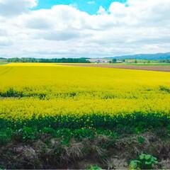 北海道/自然/菜の花畑/おでかけ 北海道に行ってる方から(o´艸`)  め…