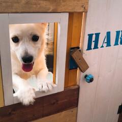 ゲージ/ペット/犬/DIY お家に窓が付いた…ひょっこり…  出れそ…(2枚目)