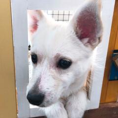 ゲージ/ペット/犬/DIY お家に窓が付いた…ひょっこり…  出れそ…(3枚目)