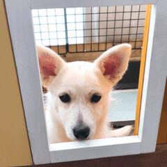 ゲージ/ペット/犬/DIY お家に窓が付いた…ひょっこり…  出れそ…(1枚目)