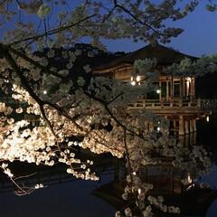 ライトアップ/浮見堂/奈良公園/夜桜/桜 先日夜桜見物に行ってきました🌸