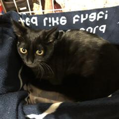 ペット/猫/にゃんこ同好会/保護猫/里親/猫の譲渡会 黒猫を飼い始めました。 保護猫で推定5〜…
