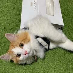 愛猫/溺愛/子猫/ノルウェージャンフォレストキャット/2018/フォロー大歓迎/... 可愛いすぎる〜💓 箱入り息子のLapha🐈(3枚目)