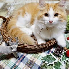 子猫/ノルウェージャンフォレストキャット/猫/にゃんこ同好会/クリスマス/ペット やんちゃすぎるラファ🐈 ダンボールゃカゴ…(1枚目)