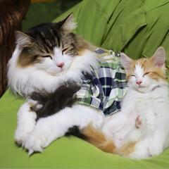 ノルウェージャンフォレストキャット/秋/ペット/猫 こんな〜可愛い寝顔見てたら*。.(♥´꒳…