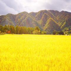 秋の風景/コシヒカリ/新米/秋/おでかけ 黄金に光り輝く✨ お米です〜*。.(♥´…