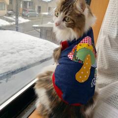服を着た猫/ノルウェージャンフォレストキャット/LIMIAペット同好会/フォロー大歓迎/ペット/ペット仲間募集/... お友達に作ってもらった💓 可愛い〜洋服🍄…