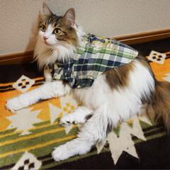 服を着た猫/ノルウェージャンフォレストキャット/猫/ペット 健康診断‼️ 去年より痩せたね〜って褒め…