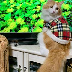 ノルウェージャンフォレストキャット/リミアの冬暮らし/フォロー大歓迎/クリスマス2019 愛猫🐈🐾 𝙻𝙰𝙿𝙷𝙰♂❶歳  朝から…