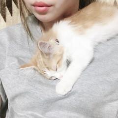 子猫/ノルウェージャンフォレストキャット/ペット/猫 遊びた疲れて何処でも寝ちゃう〜(♥´꒳`…
