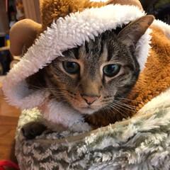 ペット/猫/にゃんこ同好会/クリスマス トナカイです🐈 嫌がらず 寝てしまいまし…