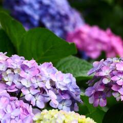 「紫陽花撮ってきました」(6枚目)