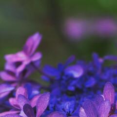 「紫陽花撮ってきました」(9枚目)
