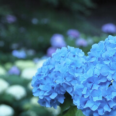 「紫陽花撮ってきました」(10枚目)