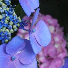 「紫陽花撮ってきました」(4枚目)