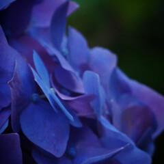 「紫陽花撮ってきました」(7枚目)