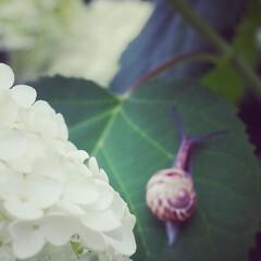 「紫陽花撮ってきました」(8枚目)