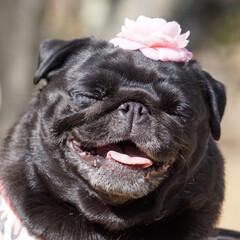 パグ/LIMIAペット同好会/LIMIAおでかけ部/ペット/犬/わんこ同好会/... 超幸せ顔❤️