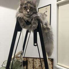 ハシゴ/アンティーク/ハンモック/キャットタワーDIY/キャットタワー/猫のいる暮らし/... 飾り棚をキャットタワーにDIY。 . .…(7枚目)