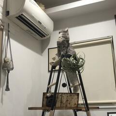 ハシゴ/アンティーク/ハンモック/キャットタワーDIY/キャットタワー/猫のいる暮らし/... 飾り棚をキャットタワーにDIY。 . .…(6枚目)
