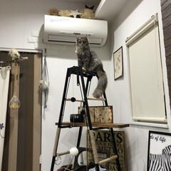 ハシゴ/アンティーク/ハンモック/キャットタワーDIY/キャットタワー/猫のいる暮らし/... 飾り棚をキャットタワーにDIY。 . .…(5枚目)