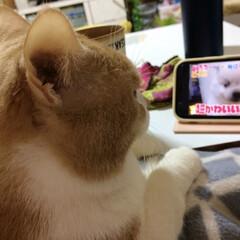 かわいい/TV/猫 気付いたら、真剣に観てた🤣