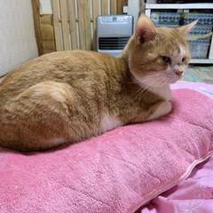 かわいい/猫/暮らし 今日も枕を奪われました😰