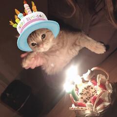 7歳/ねこねこ同好会/猫/アメショ/お誕生日 みぃちゃん💖✨✨ 7歳になりました🎂✨ …