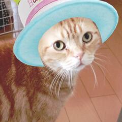 猫/アメショ/誕生日/6歳 2020年1月20日 みぃちゃん6歳ハピバ
